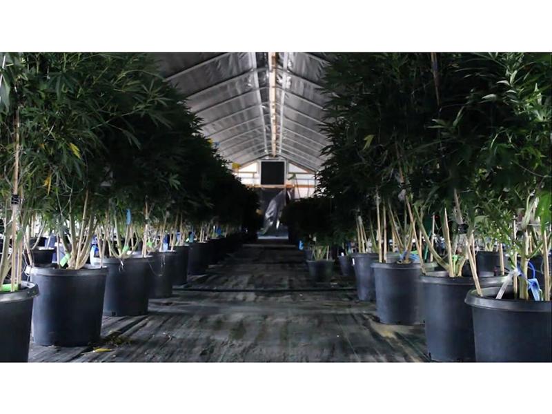 Light Deprivation Greenhouse 2021 Standardized Cannabis Cultivation Greenhouse / Cannabis Nursery Greenhouse-PBSG004