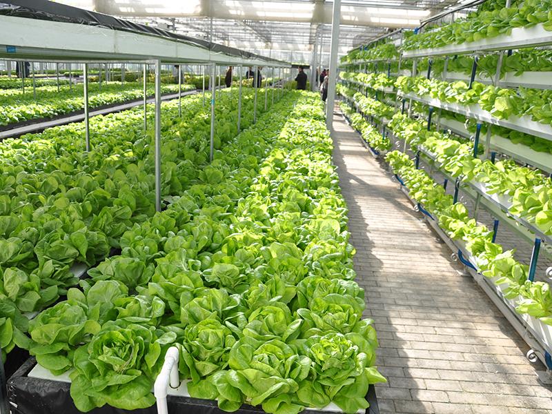 Venlo Glass Greenhouse Hydroponics Vegetable Production-PMV020