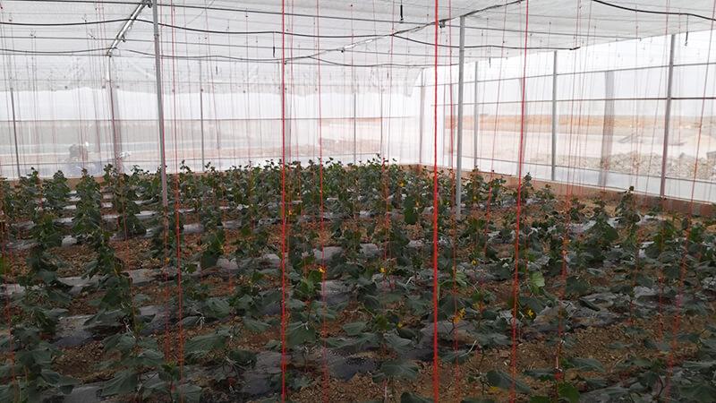 Gothic Shape Film Greenhouse (2)